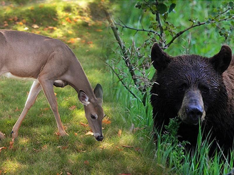 Chasse combinée cerf de Virginie et ours noir